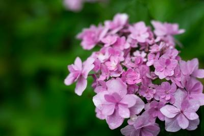 soku_30940.jpg :: 花 植物 紫陽花 梅雨 雨