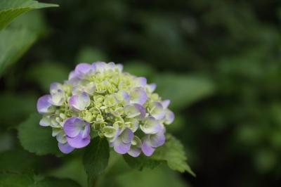 soku_30969.jpg :: 植物 花 紫陽花 アジサイ 資料 比較 F2.8 org:soku_30970.jpg