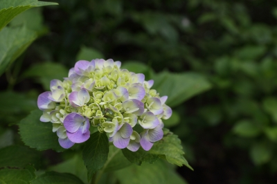 soku_30970.jpg :: 植物 花 紫陽花 アジサイ 資料 比較 F6.3 org:soku_30969.jpg