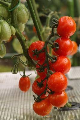 soku_30971.jpg :: SD1 マクロ 野菜 トマト 家庭菜園