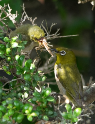 soku_30973.jpg :: 動物 鳥 野鳥 自然の鳥 メジロ ひな鳥