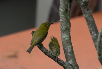 soku_30974.jpg :: 動物 鳥 野鳥 自然の鳥 メジロ 雛鳥