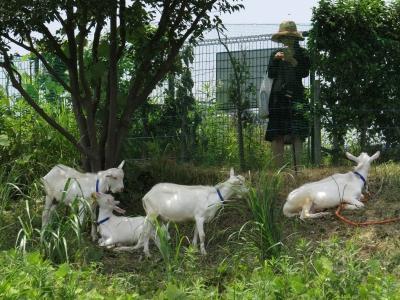 soku_30982.jpg :: 動物 家畜 ヤギ 除草作業 人物 女性 若い女性