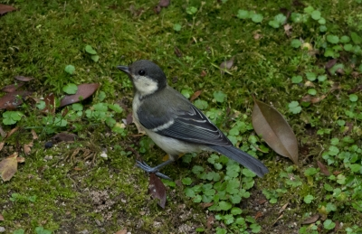soku_30989.jpg :: 動物 鳥 野鳥 自然の鳥 シジュウカラ