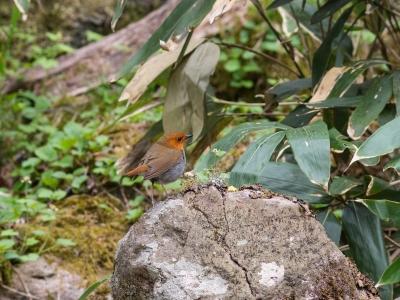 soku_31012.jpg :: 動物 鳥 野鳥 自然の鳥 コマドリ