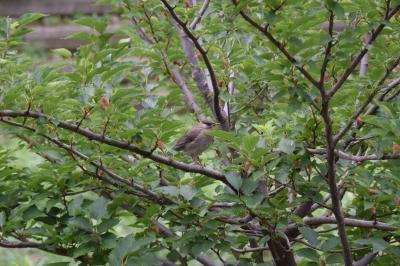 soku_31028.jpg :: 動物 鳥 野鳥 自然の鳥 未記入鳥