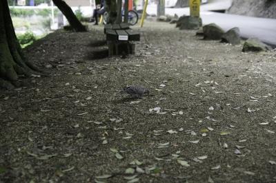 soku_31066.jpg :: 風景 自然 動物 鳥 鳩 ハト