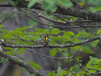 soku_31071.jpg :: 動物 鳥 野鳥 自然の鳥 キビタキ 若 亭主