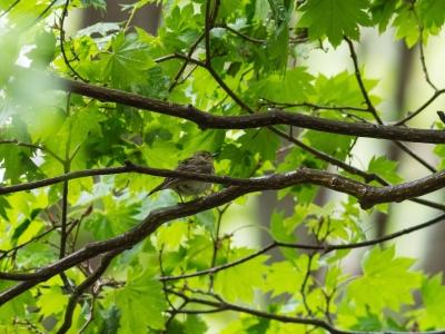 soku_31072.jpg :: 動物 鳥 野鳥 自然の鳥 キビタキ 若 嫁