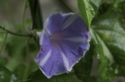 soku_31082.jpg :: 植物 花 アサガオ