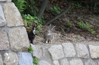 soku_31092.jpg :: うさぎ 動物 哺乳類 兎 ウサギ