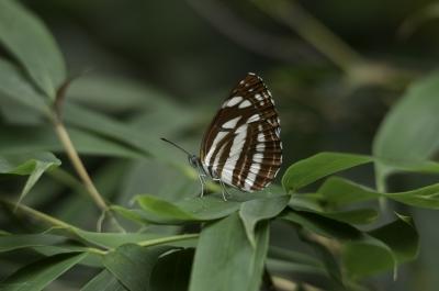 soku_31137.jpg :: 動物 虫 昆虫 蝶 チョウ コミスジ