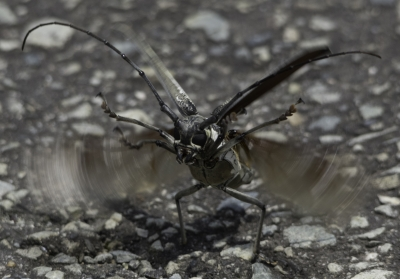 soku_31150.jpg :: 動物 虫 昆虫 シロスジカミキリ 注意