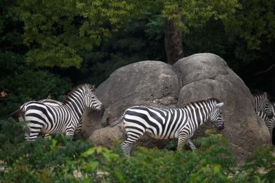 soku_31151.jpg :: EOS6D 動物園 動物 哺乳類 シマウマ