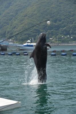 soku_31173.jpg :: 動物 海の生物 コビレゴンドウ