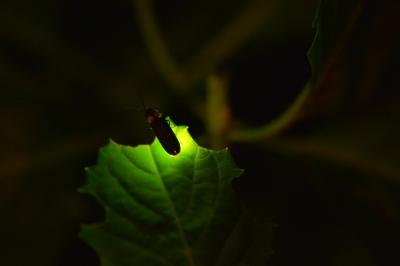 soku_31179.jpg :: 蛍 動物 虫 昆虫