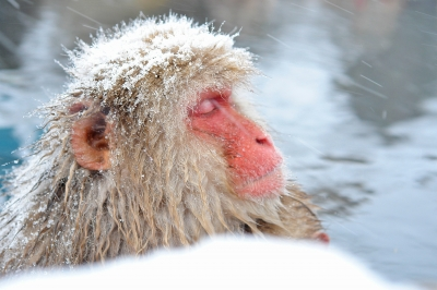 soku_31186.jpg :: 地獄谷 動物 哺乳類 猿 サル 風景 自然 雪
