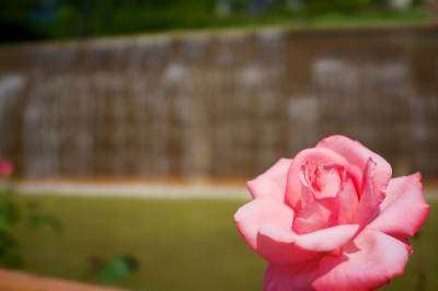 soku_31195.jpg :: 花 薔薇
