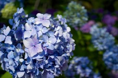 soku_31196.jpg :: 花 紫陽花