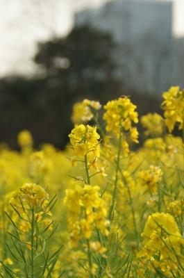 soku_31215.jpg :: 東京・浜離宮恩賜庭園 植物 花 黄色い花