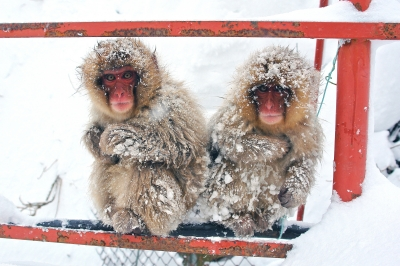 soku_31219.jpg :: 信州・地獄谷野猿公苑 物 哺乳類 猿 サル 雪