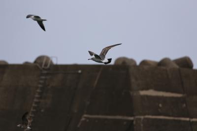 soku_31380.jpg :: 動物 鳥 鷗 カモメ ウミネコ
