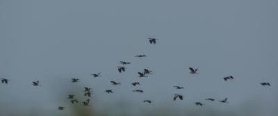 soku_31399.jpg :: 動物 鳥 野鳥 自然の鳥 アオサギ