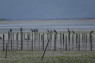 soku_31400.jpg :: 動物 鳥 野鳥 自然の鳥 ゴイサギ