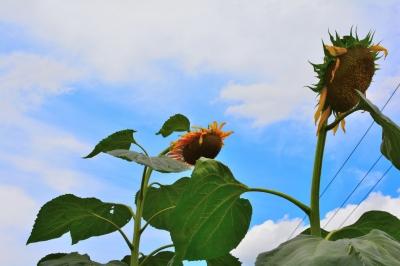 soku_31416.jpg :: 植物 花 向日葵 ヒマワリ