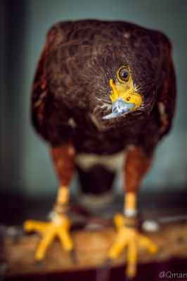 soku_31431.jpg :: 動物 鳥 猛禽類 鷹 タカ