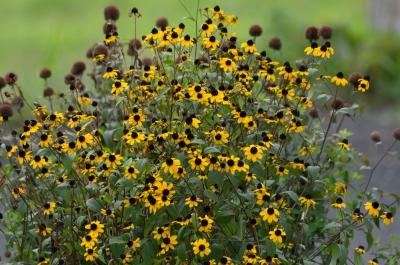 soku_31433.jpg :: 植物 花 ルドベキア