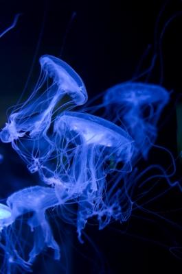 soku_31437.jpg :: 水族館 動物 海の生物 クラゲ