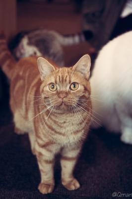soku_31443.jpg :: 動物 哺乳類 猫 ネコ