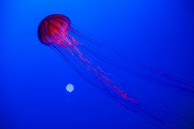 soku_31569.jpg :: 江ノ島水族館 動物 海の生物 クラゲ