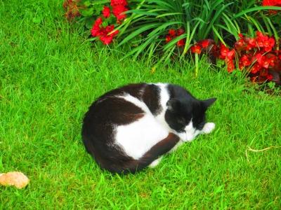 soku_31609.jpg :: 動物 哺乳類 猫 ネコ