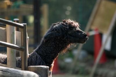 soku_31642.jpg :: 動物 哺乳類 アルパカ 五月山動物園