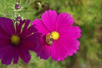 soku_31685.jpg :: 植物 花 秋桜 コスモス 昆虫 蜂 ハチ