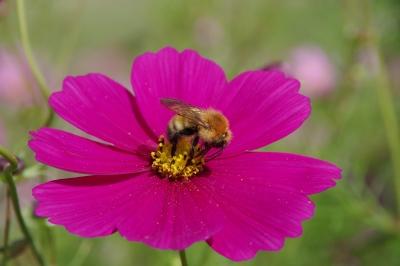 soku_31686.jpg :: 植物 花 秋桜 コスモス 昆虫 蜂 ハチ