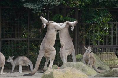 soku_31698.jpg :: 動物園 カンガルー