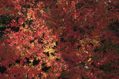 soku_31740.jpg :: 風景 自然 紅葉 赤い紅葉