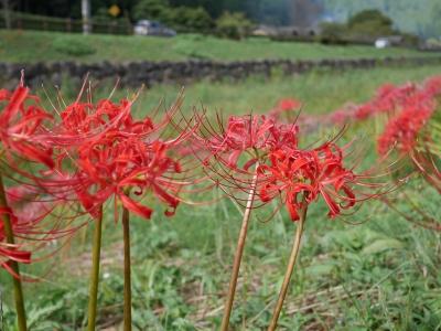 soku_31762.jpg :: 植物 花 曼珠沙華 彼岸花 ヒガンバナ