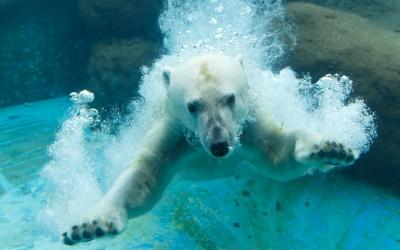 soku_31801.jpg :: EOS6D 動物園 ホッキョクグマ シロクマ