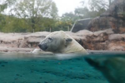 soku_31802.jpg :: EOS6D 動物園 ホッキョクグマ シロクマ