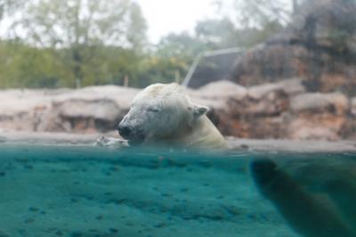 soku_31803.jpg :: EOS6D 動物園 ホッキョクグマ シロクマ