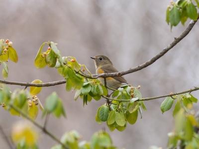 soku_31810.jpg :: 動物 鳥 野鳥 自然の鳥 ルリビタキ メスタイプ ツルマサキ