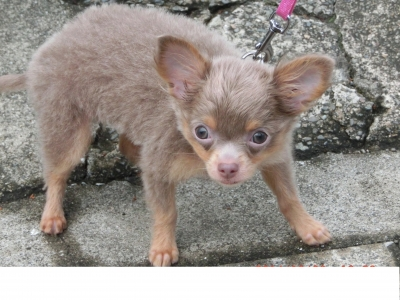 soku_31844.jpg :: イザベラタンチワワ 動物 ペット 犬