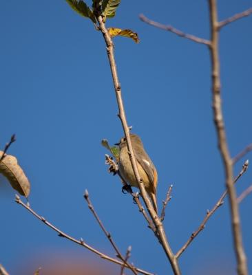 soku_31853.jpg :: 動物 鳥 野鳥 自然の鳥 ジョウビタキ♀