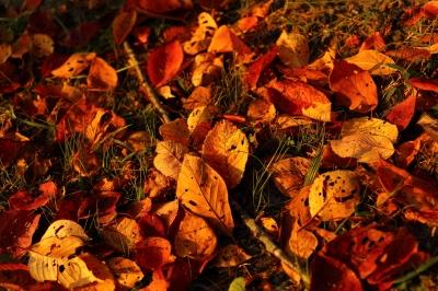 soku_31856.jpg :: 風景 自然 紅葉 落ち葉