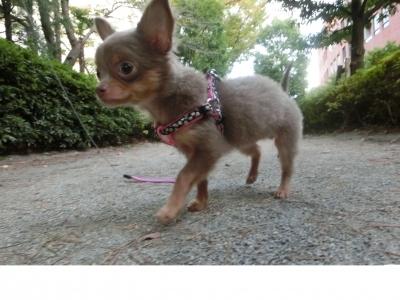soku_31870.jpg :: イザベラチワワ 動物 ペット 犬