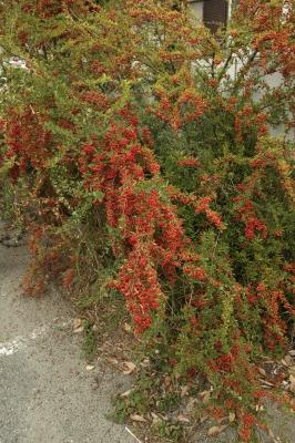 soku_31885.jpg :: 植物 樹木 赤い実